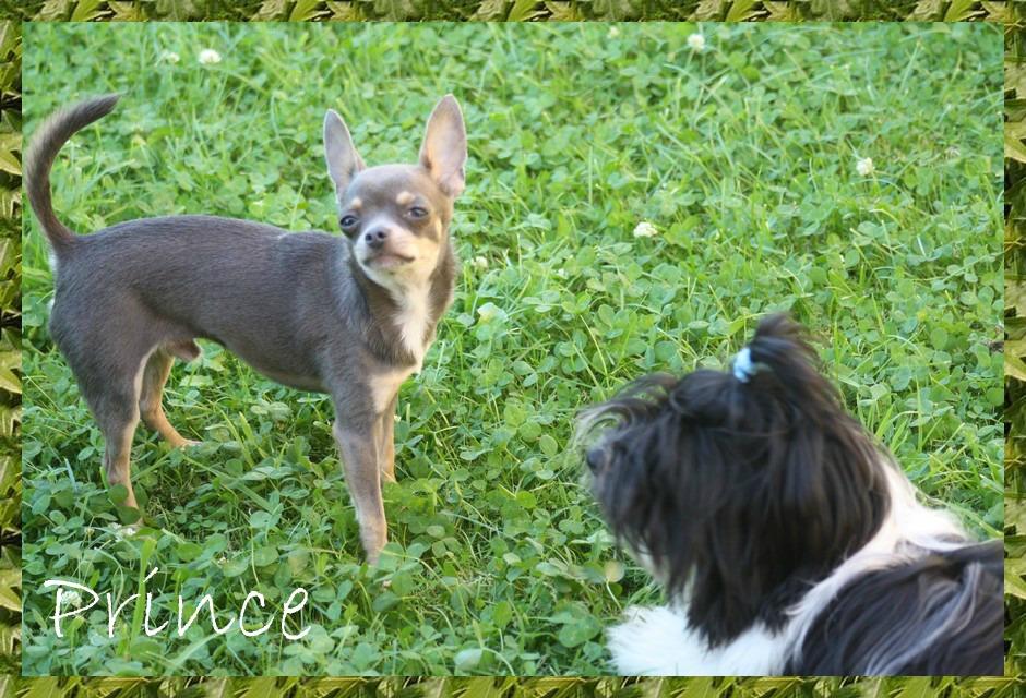 Kacharel et son copain Pince un Chihuahua